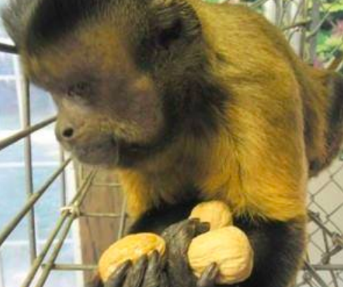Monkey with nuts